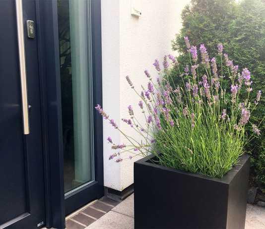 Lavendel im Pflanztopf au Fiberglas