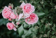 Rosen richtig pflegen und schneiden