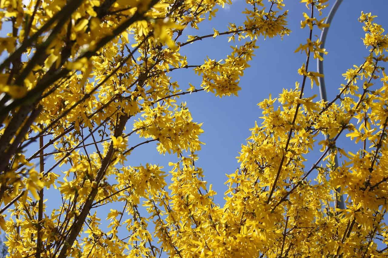 Frühblüher Forsythie mit gelben Blüten