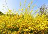 Ranunkelstrauch Peniflora