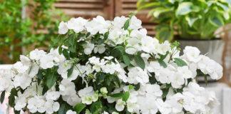 Eine Pracht an Blüten bringt die Hortensie Runaway Bride®